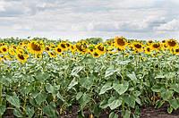 Семена подсолнечника гибрид Форвард - F1 (ЭКОНОМ)