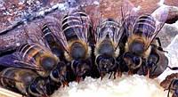 Технология интенсивного весеннего развития пчелиных семей