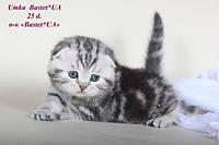 Шотландский вислоухий котенок Умка