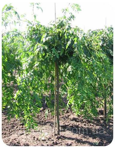 Ясень зеленый плакучий Pendula (штамб 1,7-1,8м)