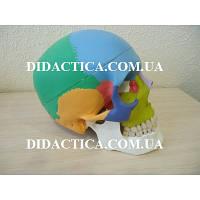 """Анатомическая модель человека """"Череп человека"""" с раскрашенными костями, модель """"череп человека белый"""" классика"""