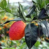 Лимон Россо (Red Lemon Rosso) до 20 см. Комнатный, фото 1