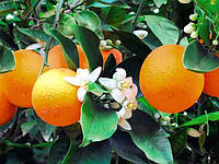 Апельсин Лайн Лате (Citrus sinensis Lane Late) Комнатный