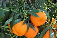 Померанец Чинотто (Citrus Myrtifolia Chinotto) Комнатный