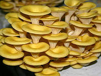 Мицелий  зерновой маточный Вешенка лимонная, 250мл