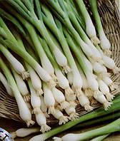Семена лука на перо Байкал из проф. упаковки 10 г, Moravoseed (Моравосид), Чехия