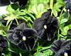 Семена ВИОЛА Блек Кинг 0,05 г Польша