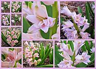 Махровый гиацинт Chestnut Flower