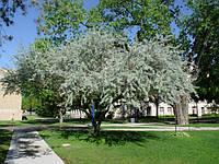 Пшат (лох узколистный, дикая маслина,джида)
