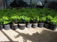 Самшит вечнозеленый/ Buxus sempervirens с3
