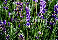 ЛАВАНДА АНГЛИЙСКАЯ «ЛОДДОН БЛУ» (Loddon Blue), фото 1