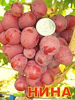 Саженцы винограда среднего срока созревания сорта Нина