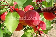 """Абрикос """"ЭРЛИ РЕД ОРАНЖ"""" (Early Red Orange), фото 1"""