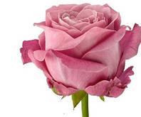 Новинка! Роза Al for love 100 см