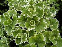 Будра плющевидная «variegata»