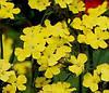 Гвоздика Кнаппа «Желтая гармония»
