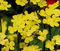 Гвоздика Кнаппа «Желтая гармония», фото 1