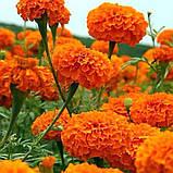 Бархатцы Оранж 0,5г низкие прямостоячие, фото 2