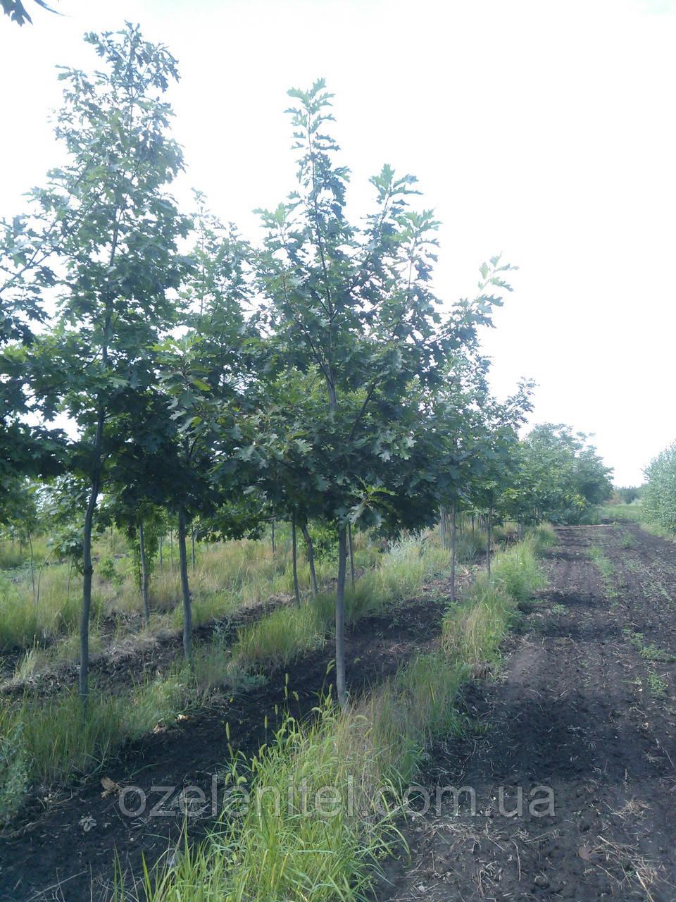 Дуб красный / Quercus rubra / Дуб червоний