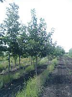 Дуб красный / Quercus rubra / Дуб червоний, фото 1