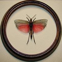 Сувенир - Кузнечик в рамке Phymateus madagascarensis. Оригинальный и неповторимый подарок!