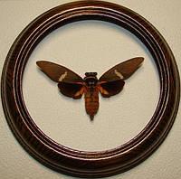 Сувенир - Цикада в рамке Tosena melanoptera. Оригинальный и неповторимый подарок!
