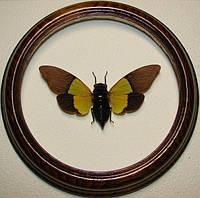 Сувенир - Цикада в рамке Trengganua sybylla. Оригинальный и неповторимый подарок!