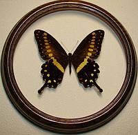 Сувенир - Бабочка в рамке Papilio lormieri form.. Оригинальный и неповторимый подарок!