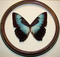 Сувенир - Бабочка в рамке Morpho cisseis cisseis. Оригинальный и неповторимый подарок!