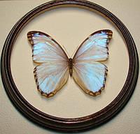 Сувенир - Бабочка в рамке Morpho godarti. Оригинальный и неповторимый подарок!