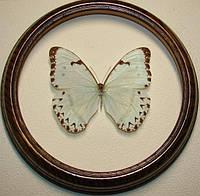 Сувенир - Бабочка в рамке Morpho catenarius m. Оригинальный и неповторимый подарок!