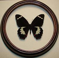 Сувенир - Бабочка в рамке Papilio aegeus. Оригинальный и неповторимый подарок!