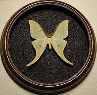 Сувенир - Бабочка в рамке Actias luna f+Actias selene m hybrid. Оригинальный и неповторимый подарок!