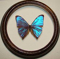 Сувенир - Бабочка в рамке Morpho aega. Оригинальный и неповторимый подарок!