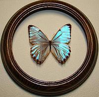 Сувенир - Бабочка в рамке Morpho portis. Оригинальный и неповторимый подарок!