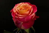 Роза 3D 80 cм