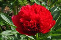 Пион травянистый 'Diana Parks' ('Диана Паркс')