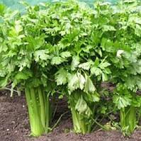 Черешковый сельдерей Анита семена среднего сорта для приправ, консервирования и употребления в свежем виде
