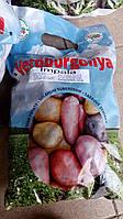 Картопля Імпала 50шт Еліта