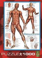 Пазл Мышцы человека, 1000 элементов, EuroGraphics