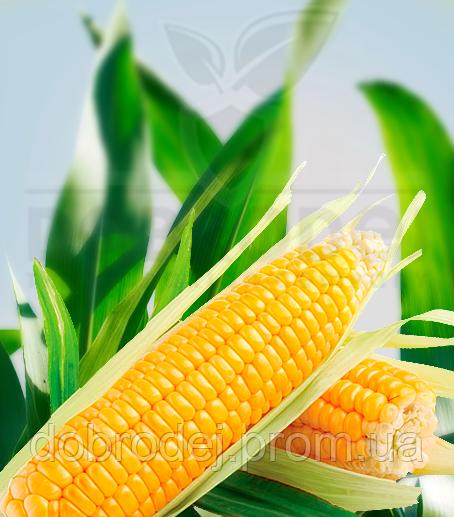 Кукуруза (Деклаб) - ДКС 4590