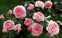 Роза английская  Вильям Моррис