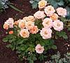 Роза чайно гибридная Априкот Климантина