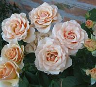 Роза чайно гибридная Прима Донна