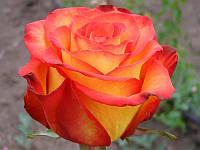 Роза чайногибридная Верано