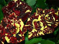 Роза чайногибридная Абракадабра