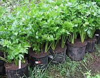 Сельдерей листовой Вестленд семена среднего сорта для кулинарии в свежем и сухом виде