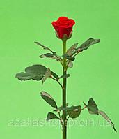 Роза 50см ЭльТоро