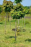 Клён остролистный Глобозум Acer platanoides 'Globosum'