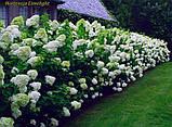 Гортензия метельчатая Limelight (Центр внимани 2г, фото 6